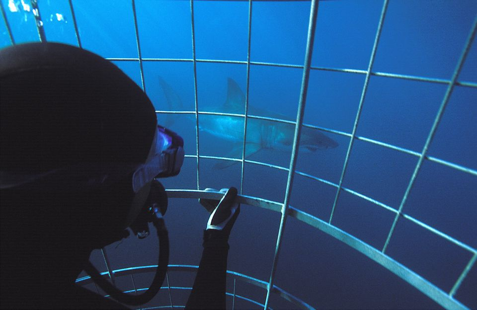 Cage diver watching Great White Shark (Carcharodon carcharias), Western Cape Province, South Africa