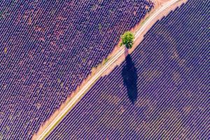 Aerial drone view of tree in the lavender, Provence, France