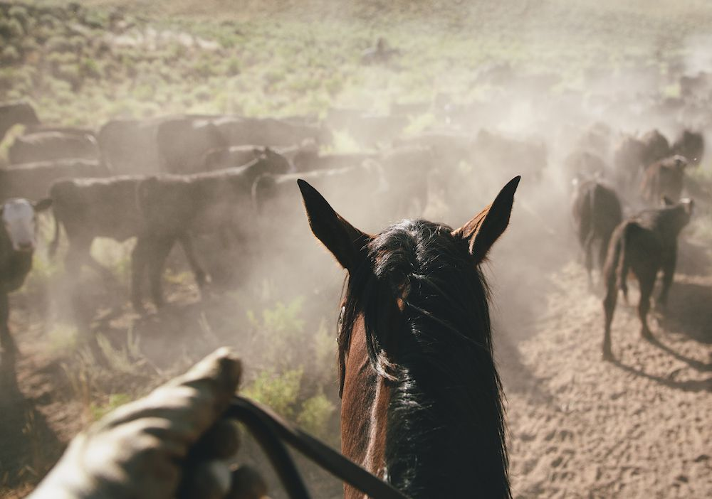 The cowboy's perspective while driving cattle.