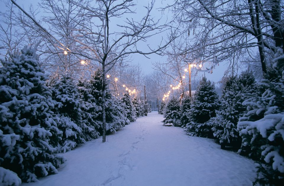 Christmas Tree Lot With Snow at Dusk. - Christmas In Minneapolis And St. Paul