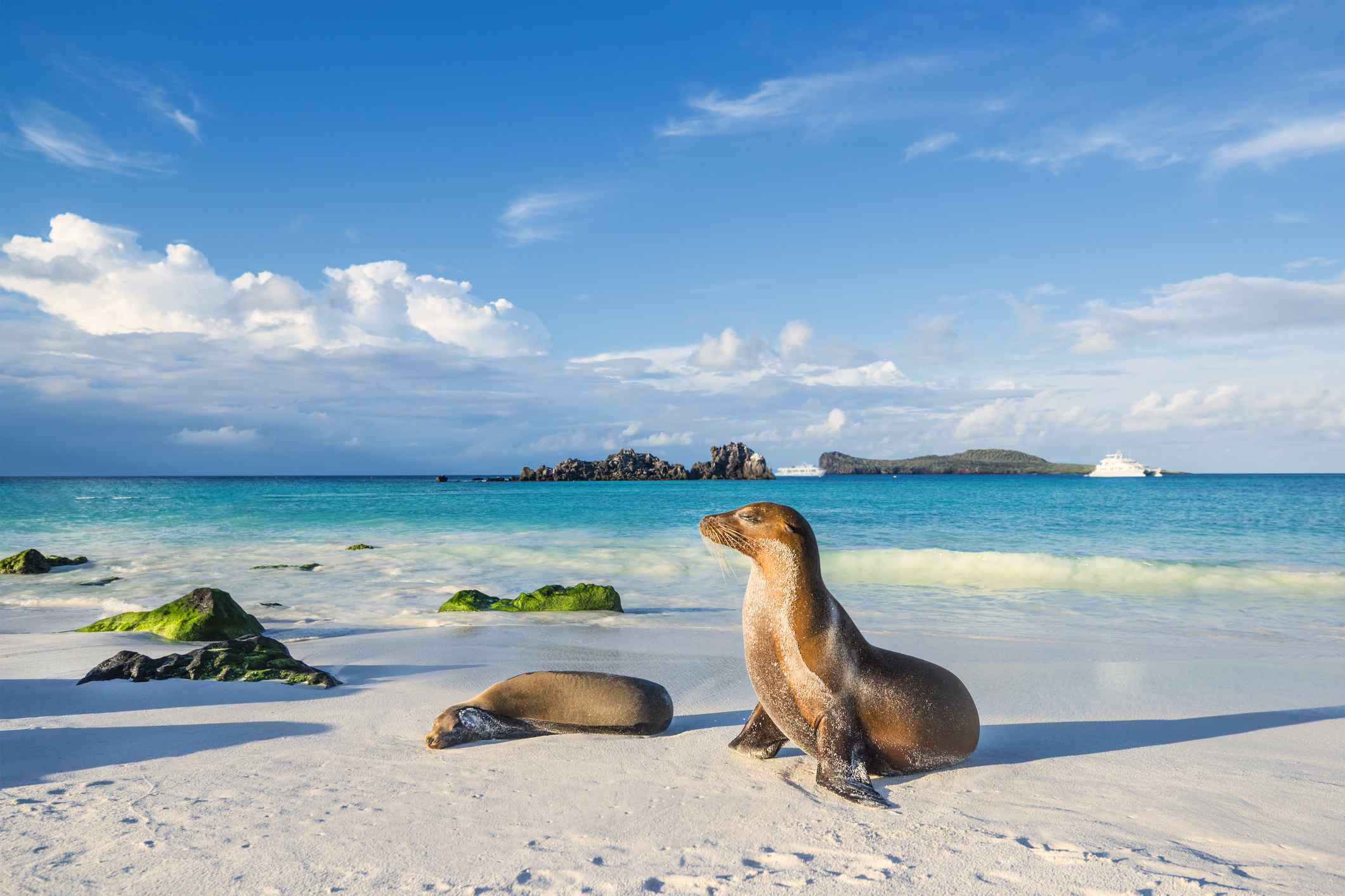 add_a_photo Embed Share Buy the print Comp Save to Board Galapagos sea lion (Zalophus wollebaeki) at the beach of Espanola island