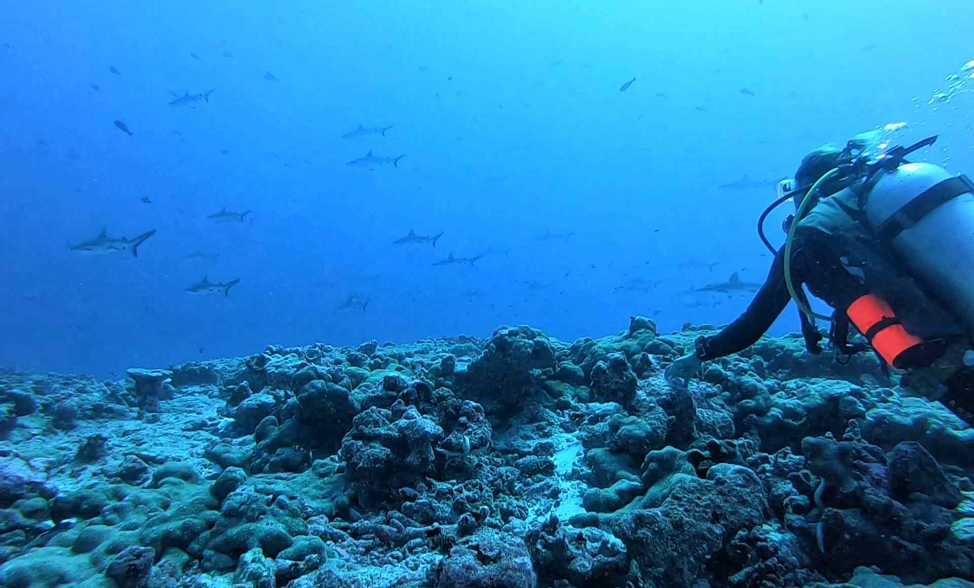 Scuba diver with sharks in Fakarava