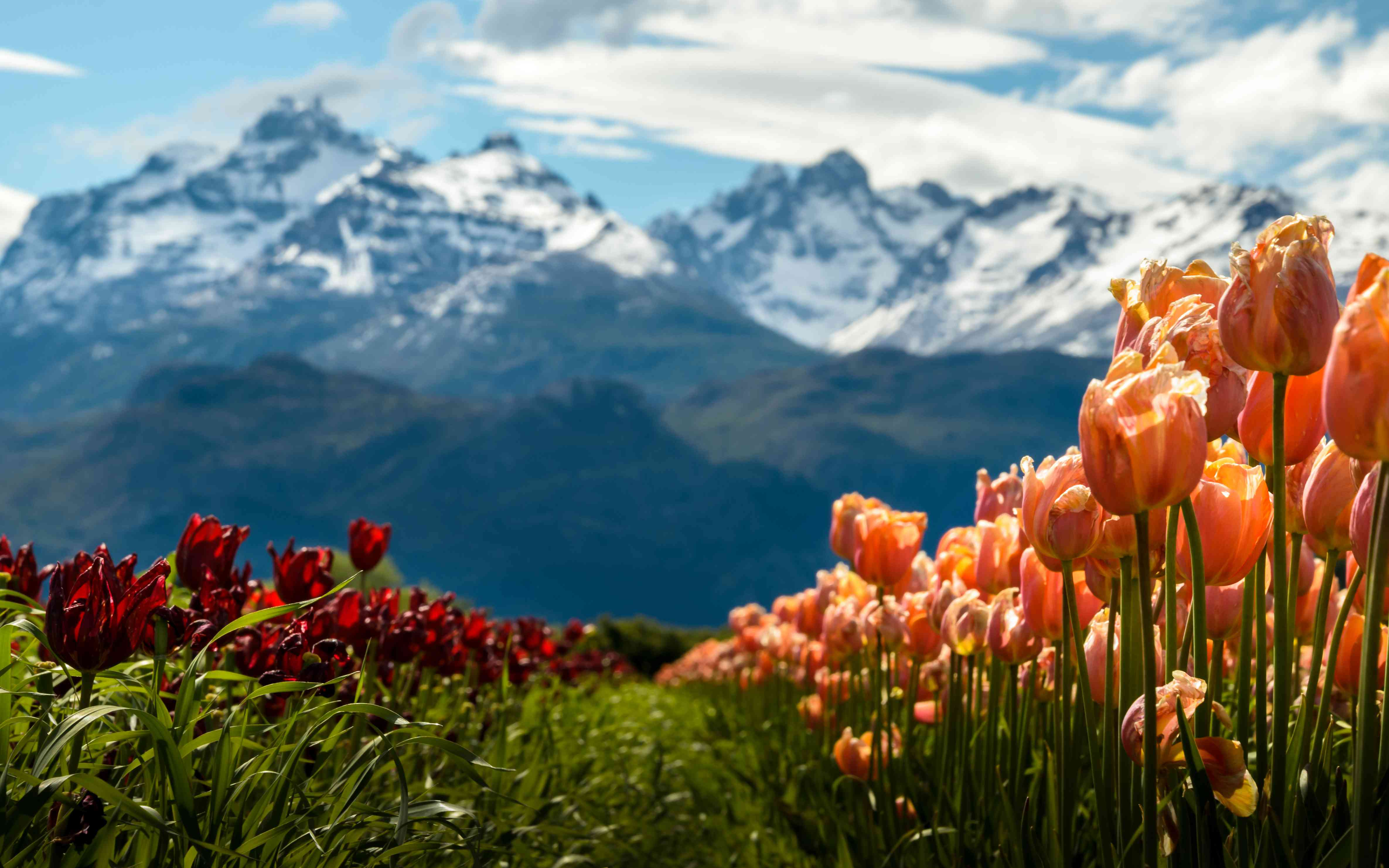 Tulip fields with mountains background