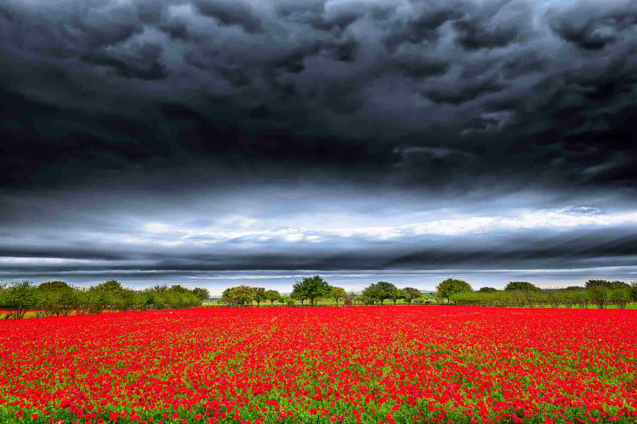 Brilliant red field of red corn poppies in the Texas hill country