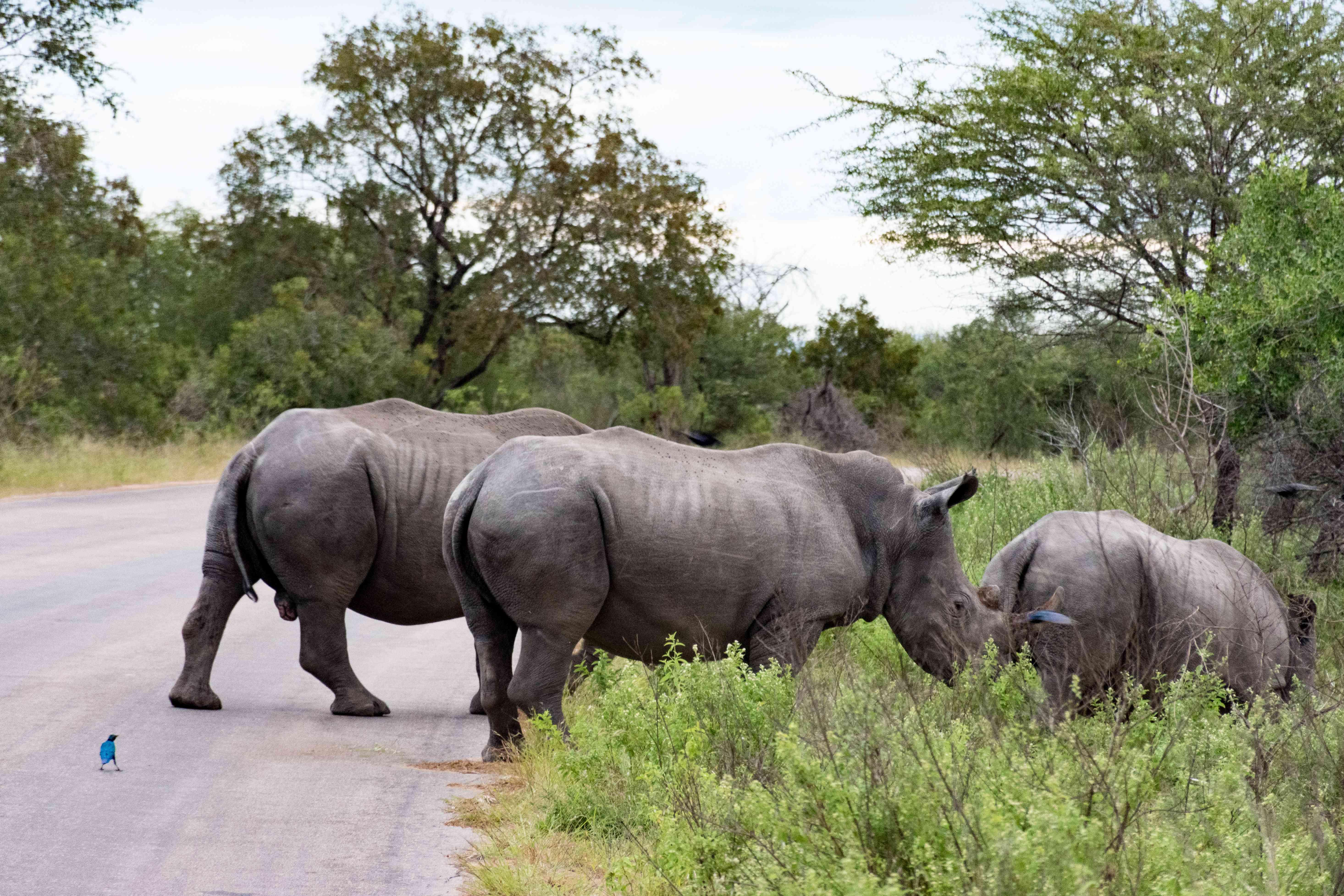 Rhinos in Kruger National Park
