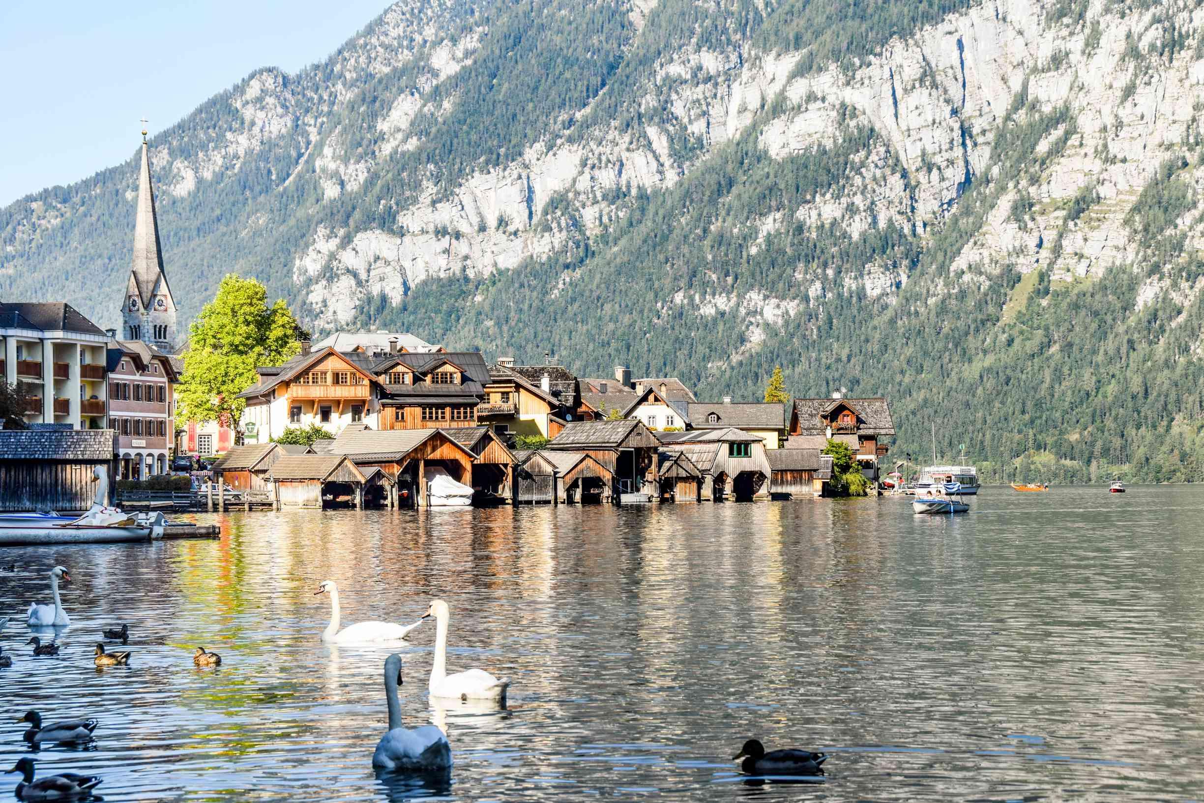 Swans swimming around Lake Hallstatt