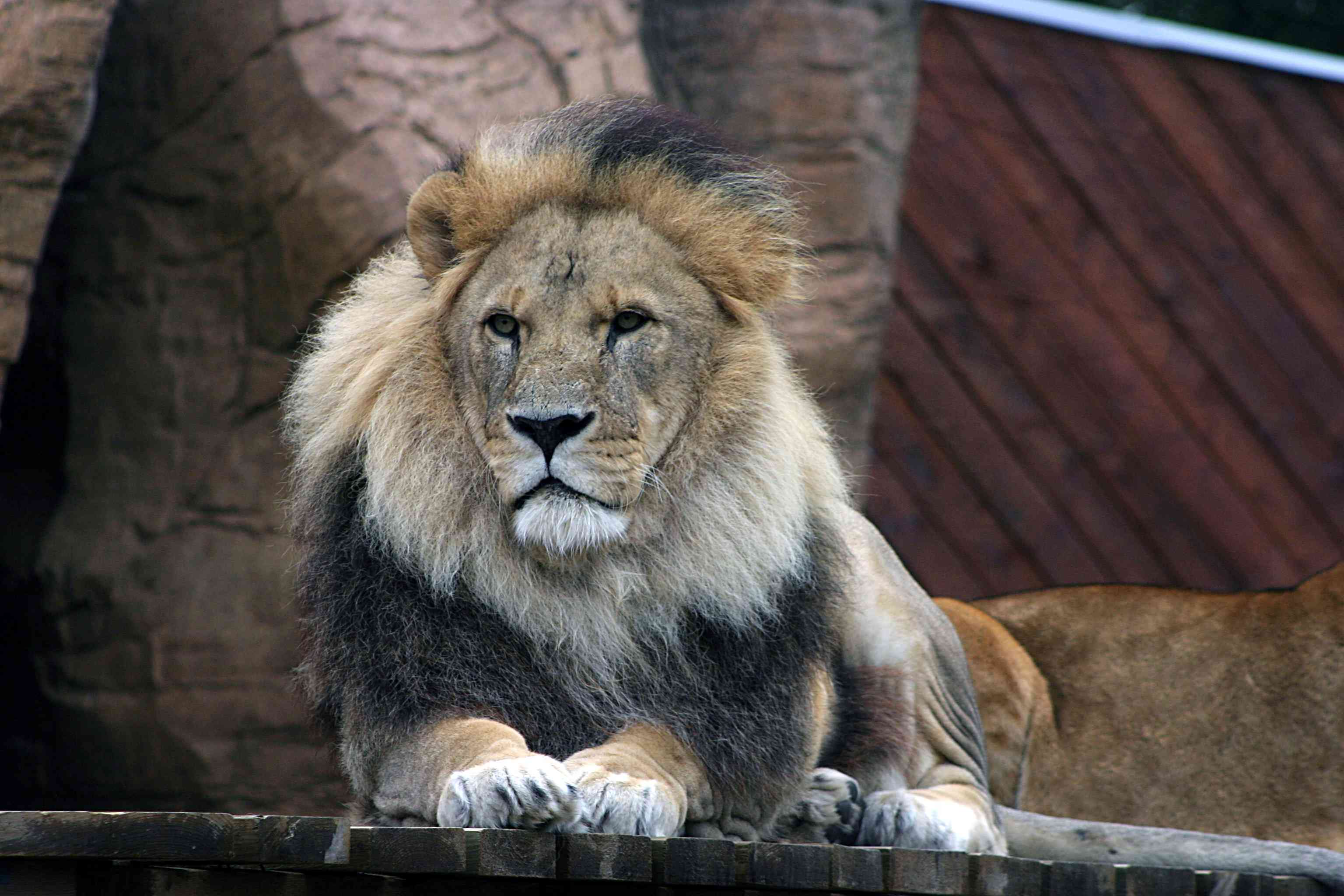 Male Lion at rest on a wooden board in Colchester Zoo