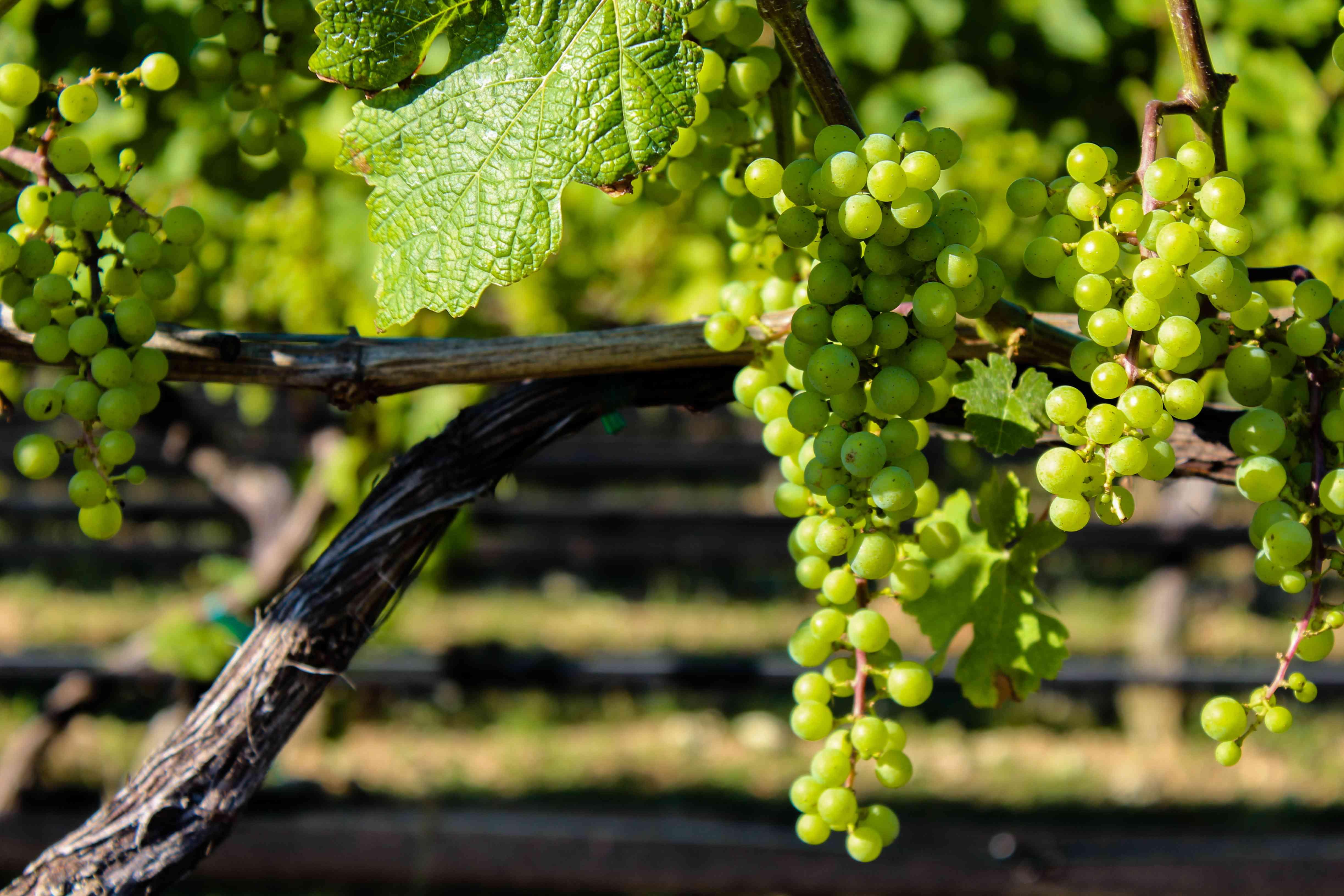North Fork vineyard