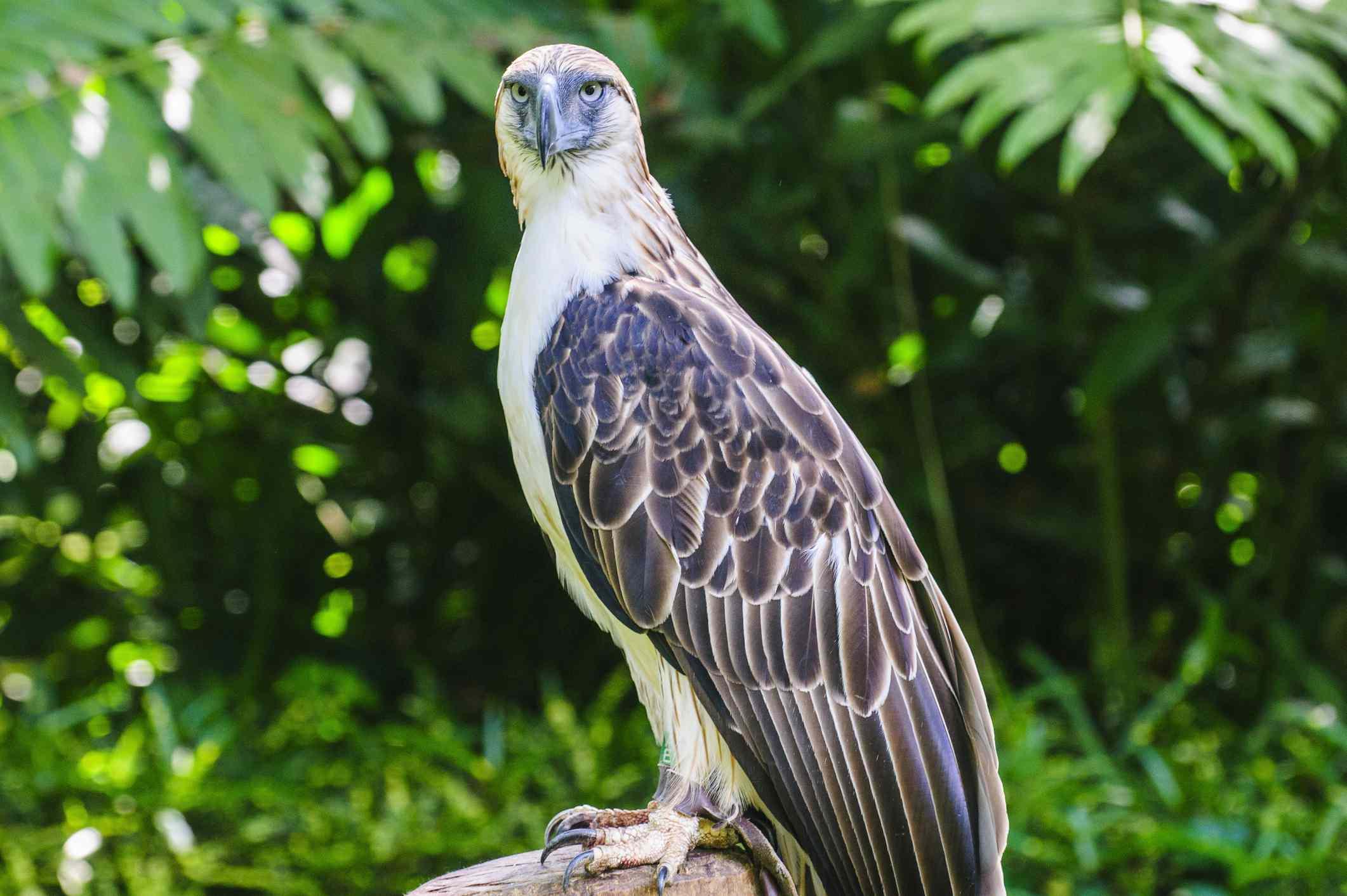 Philippine eagle, davao, philippines