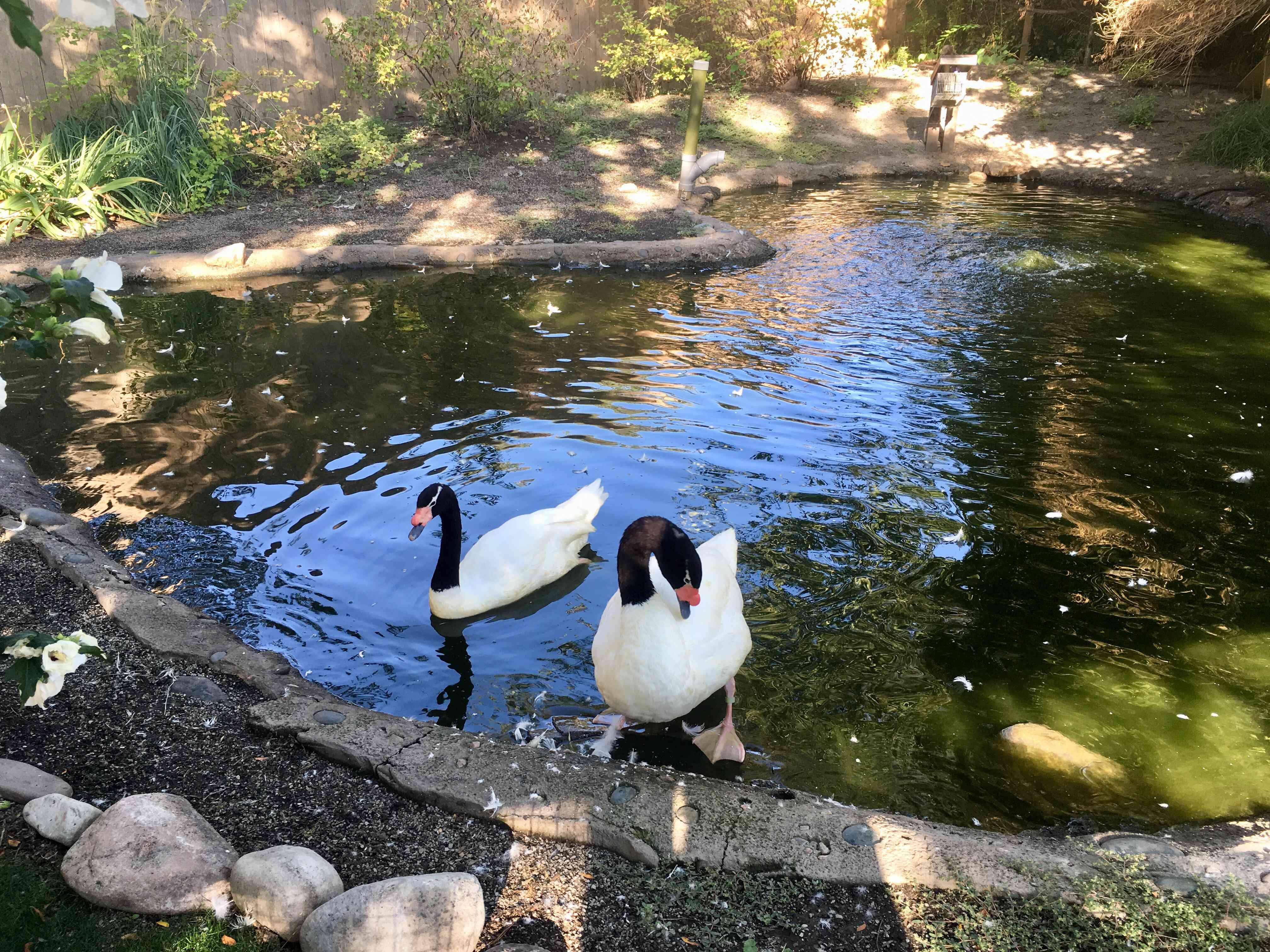 Black Necked Swan (Cygnus melancoryphus)