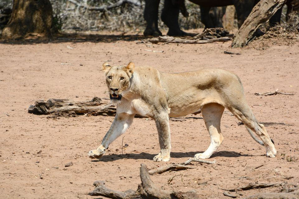 Lioness Approaching the Waterhole, Mkhuze Game Reserve