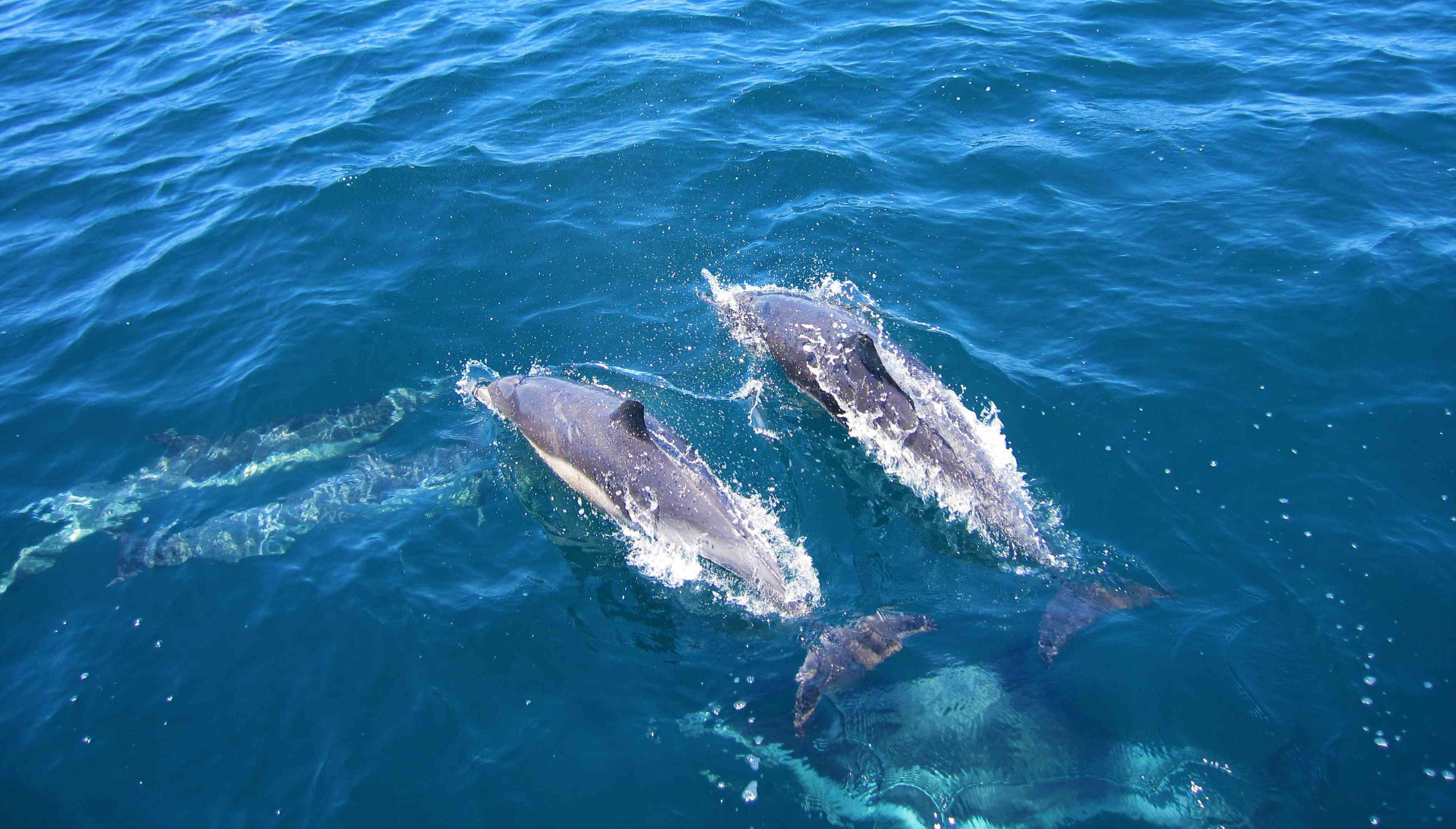 Dolphins in the Pelagos Marine Sanctuary