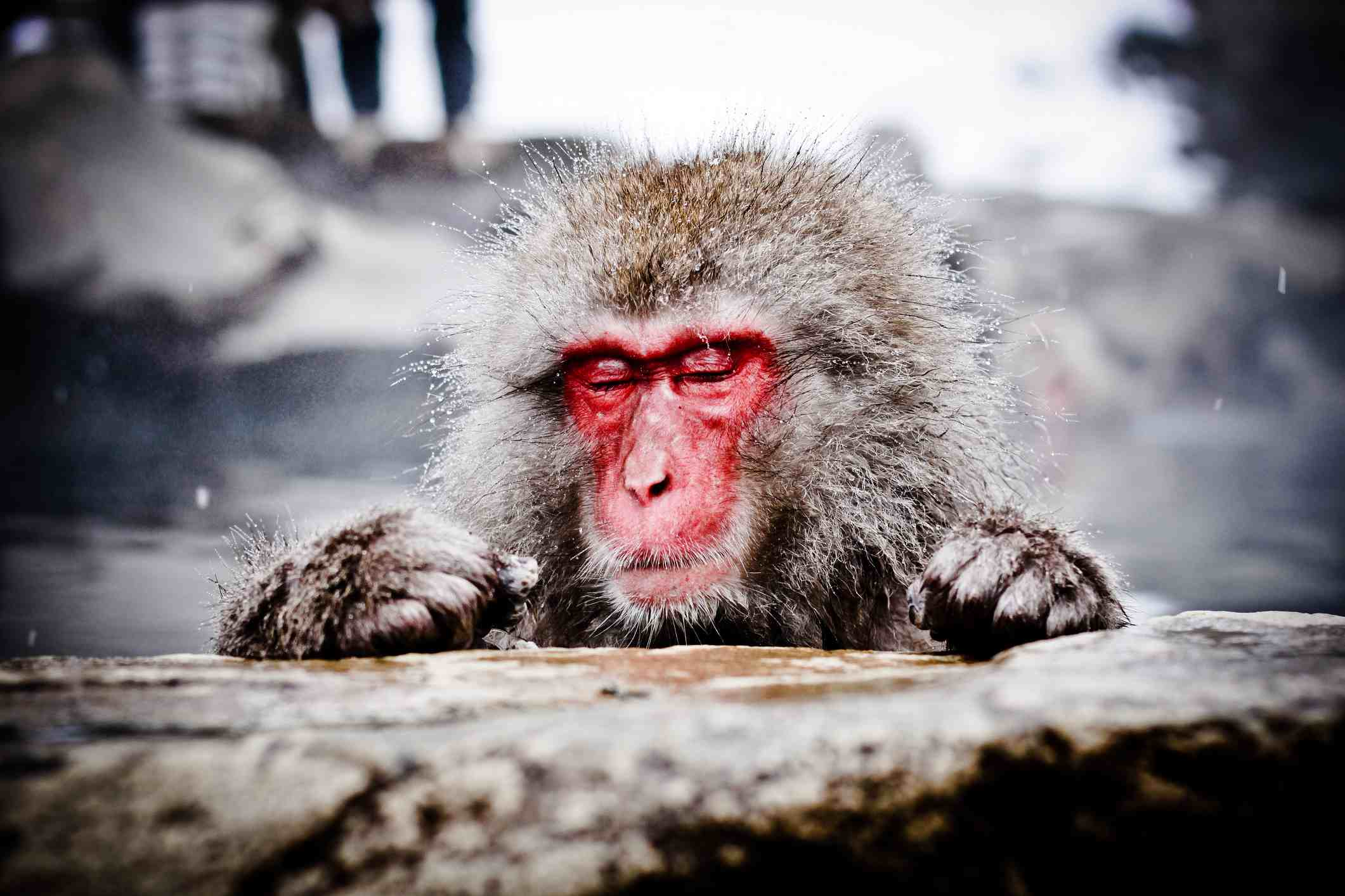 Japanese macaque in hot spring, Shibu Onsen