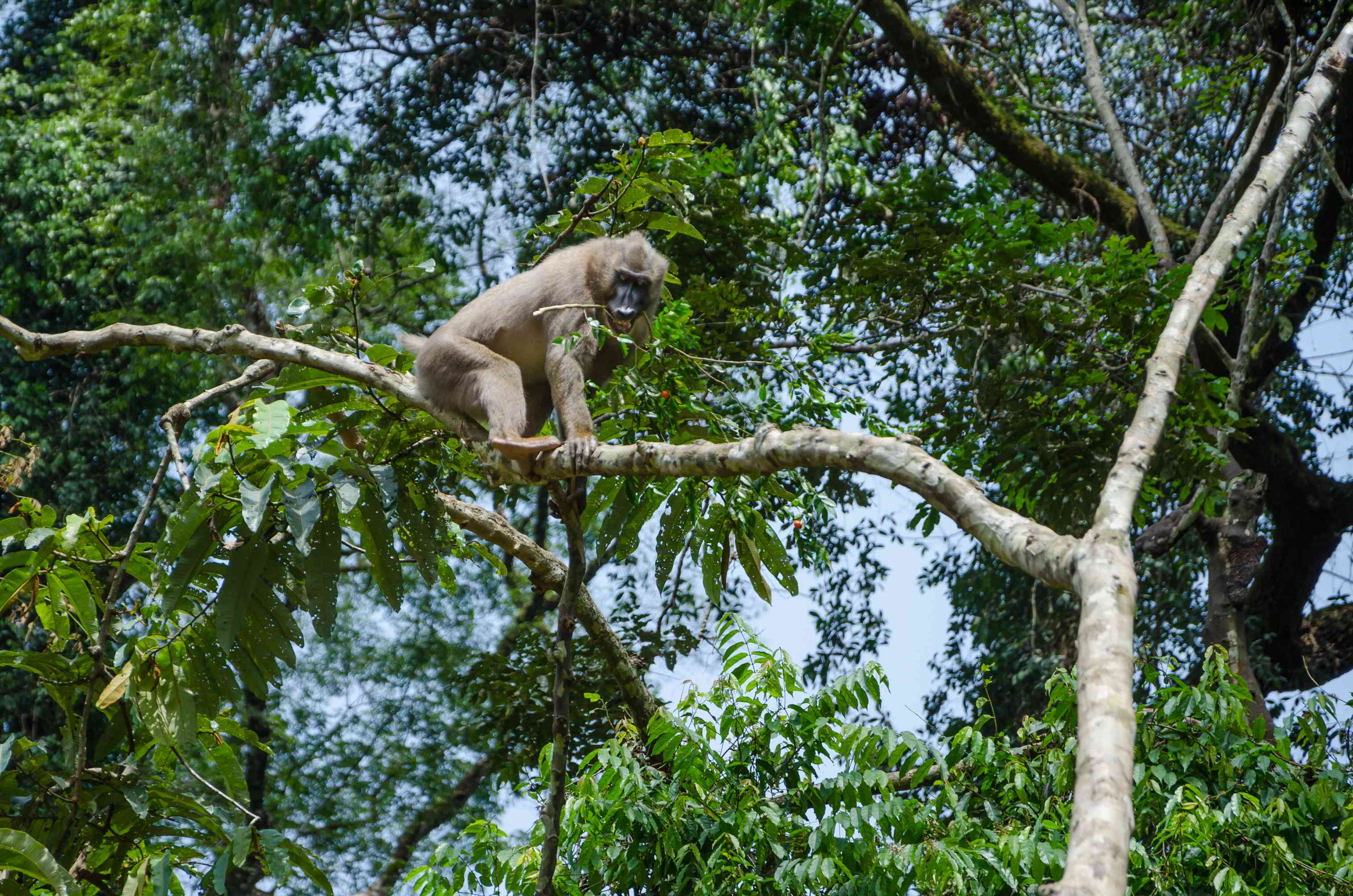View of a drill monkey in the trees, Nigeria