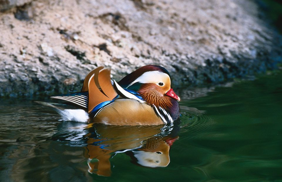 Mandarin duck (Aix galericulata), Wildlife World Zoo.