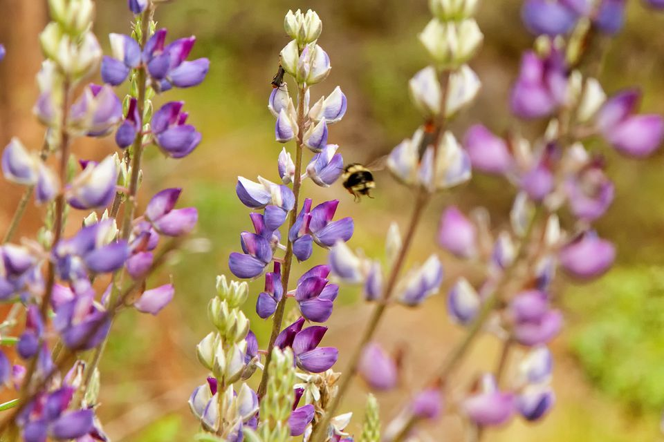 Lupine on the Hite Cove Trail