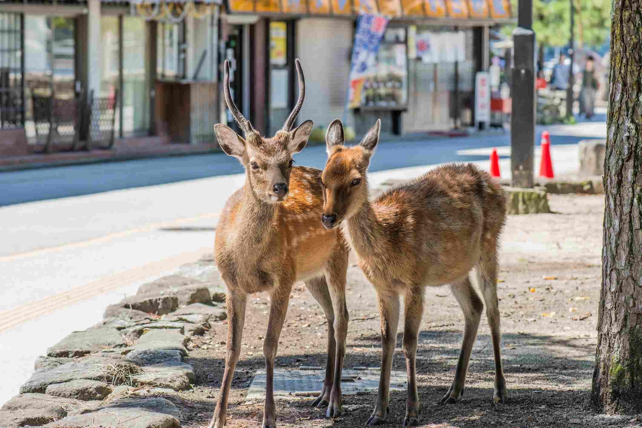 Wild deer in Miyajima