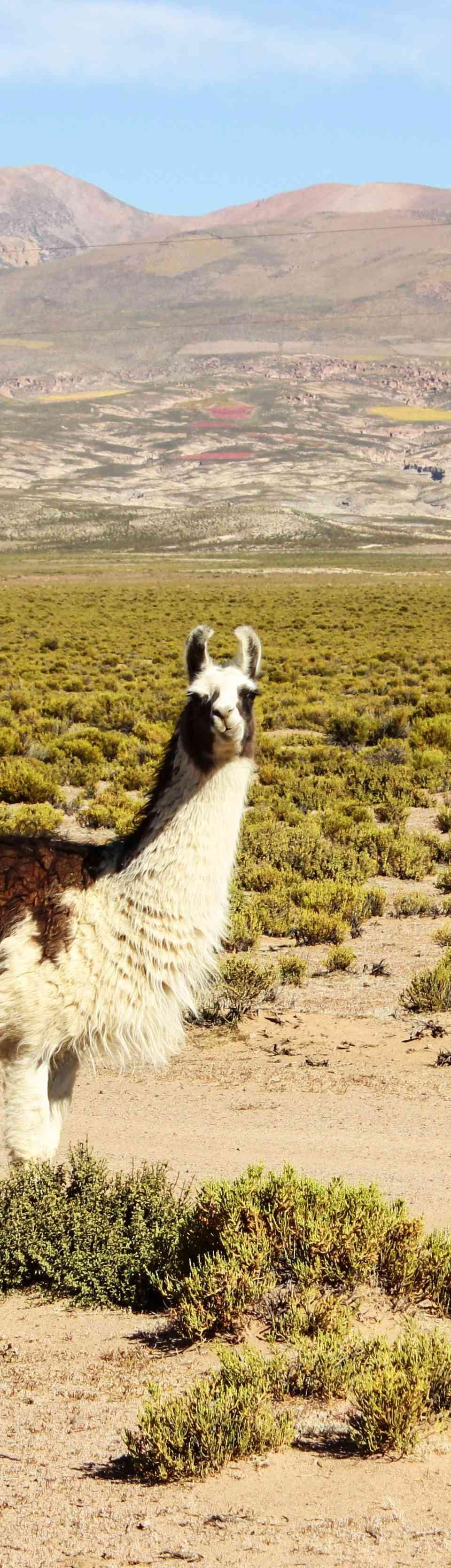 Alpaca in the Atacama Desert
