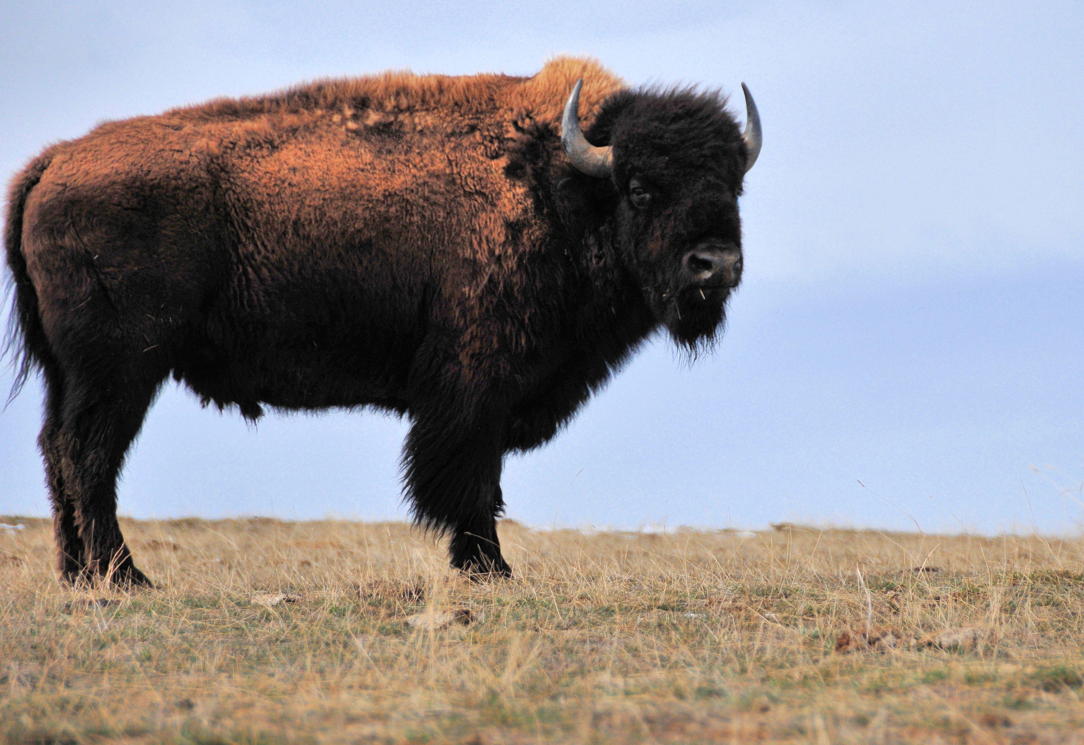 Thunder Basin National Grassland, Wyoming, USA: American Bison