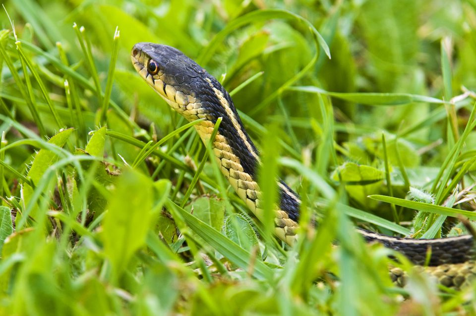 Eastern Garter Snake in grass