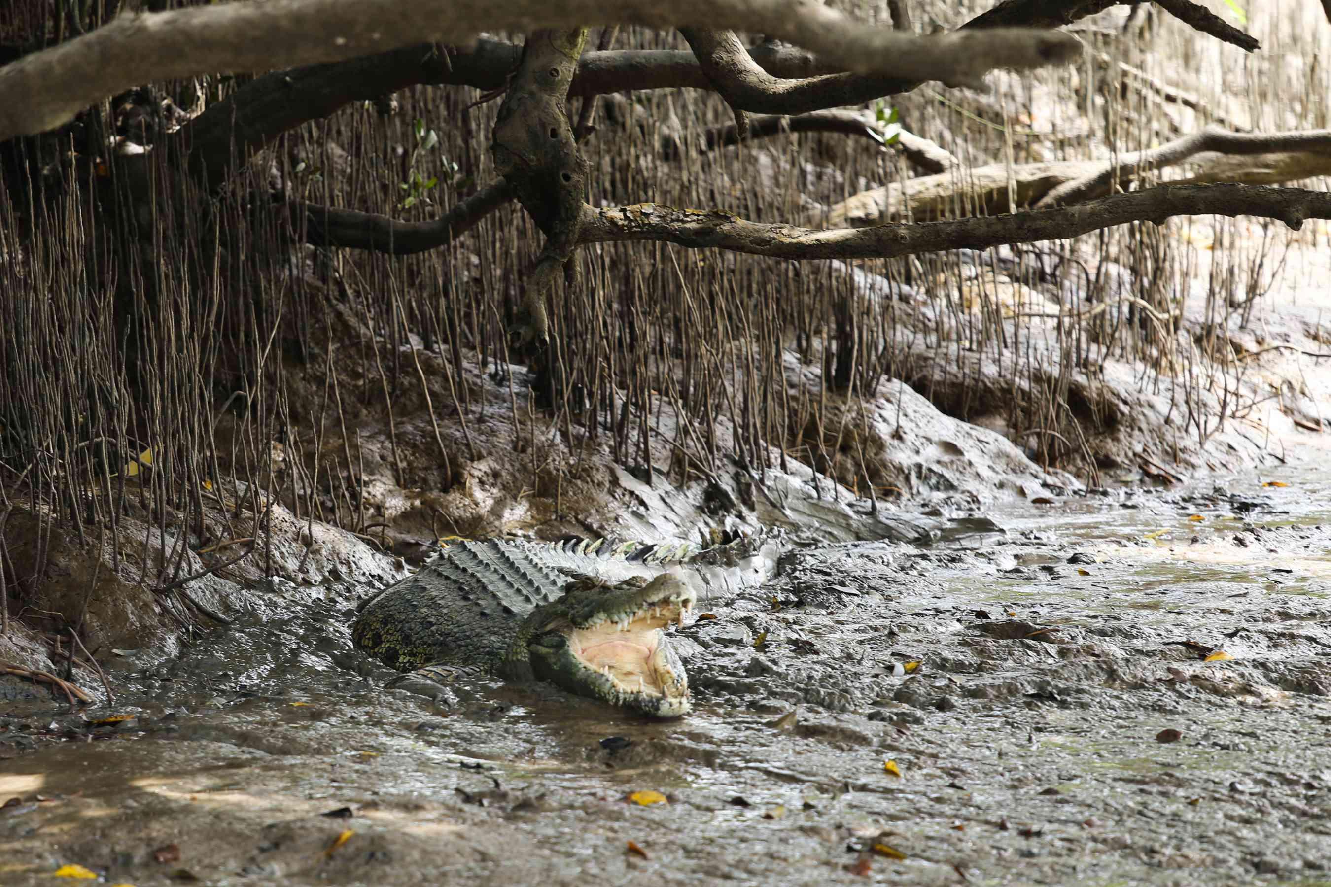 Un cocodrilo en una costa pantanosa en Darwin
