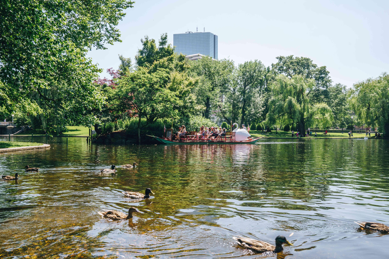 Duck boats and duck in boston public garden