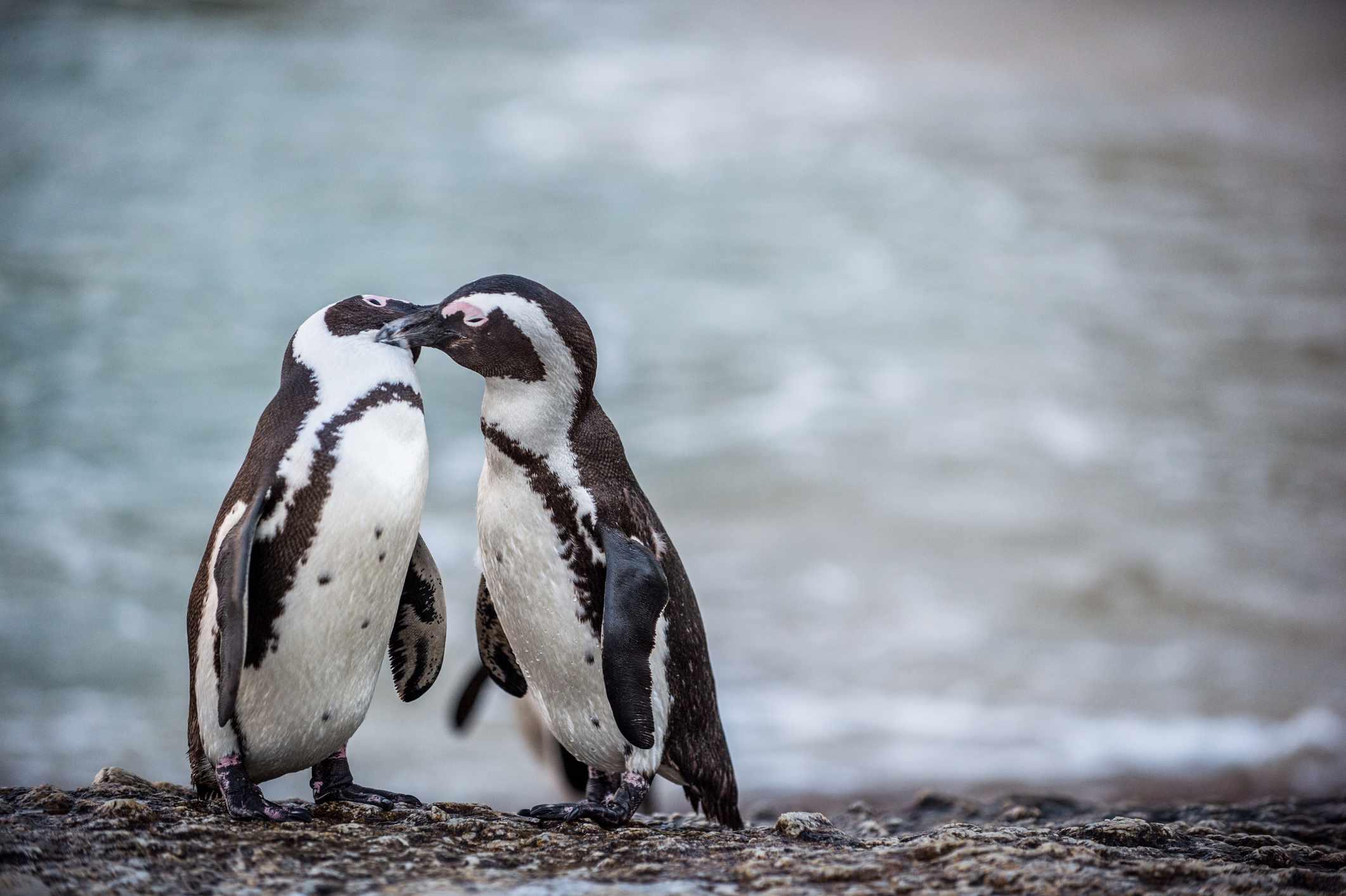African penguins, Port Elizabeth