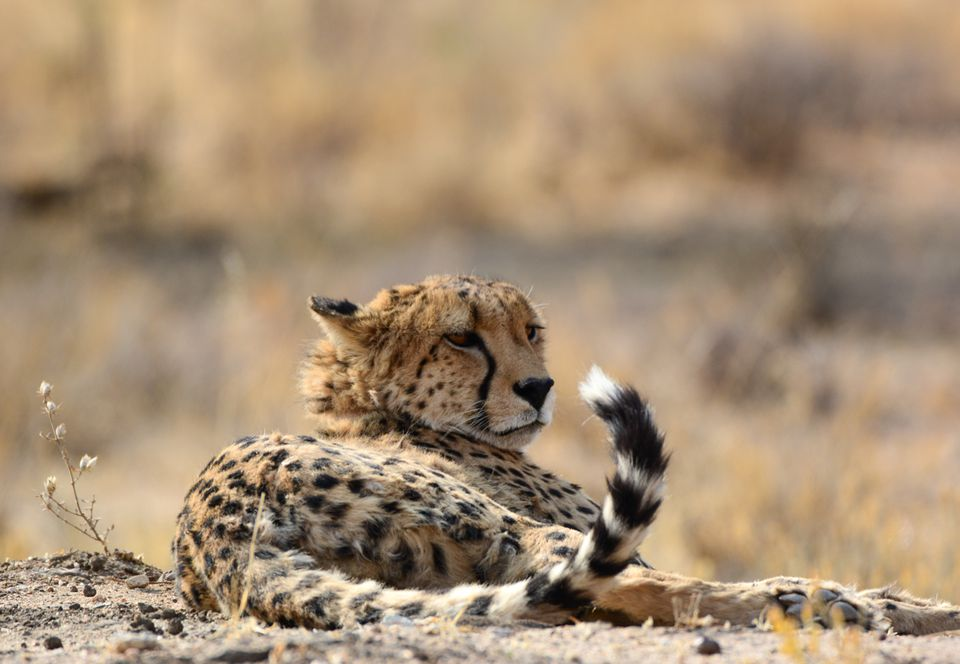 Fun Facts About African Animals: The Cheetah