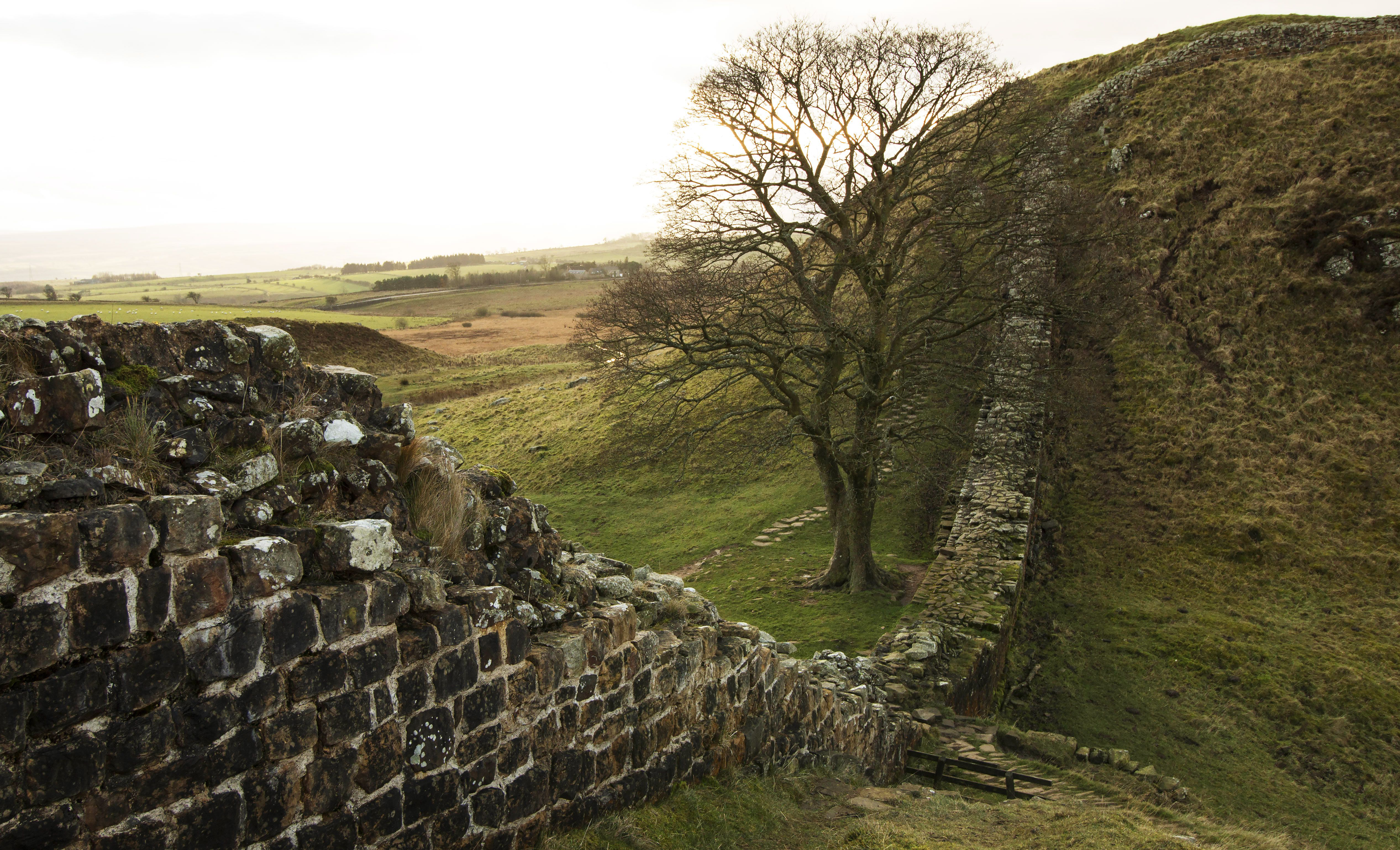 Hadrian's Wall curving up hills and around a tree