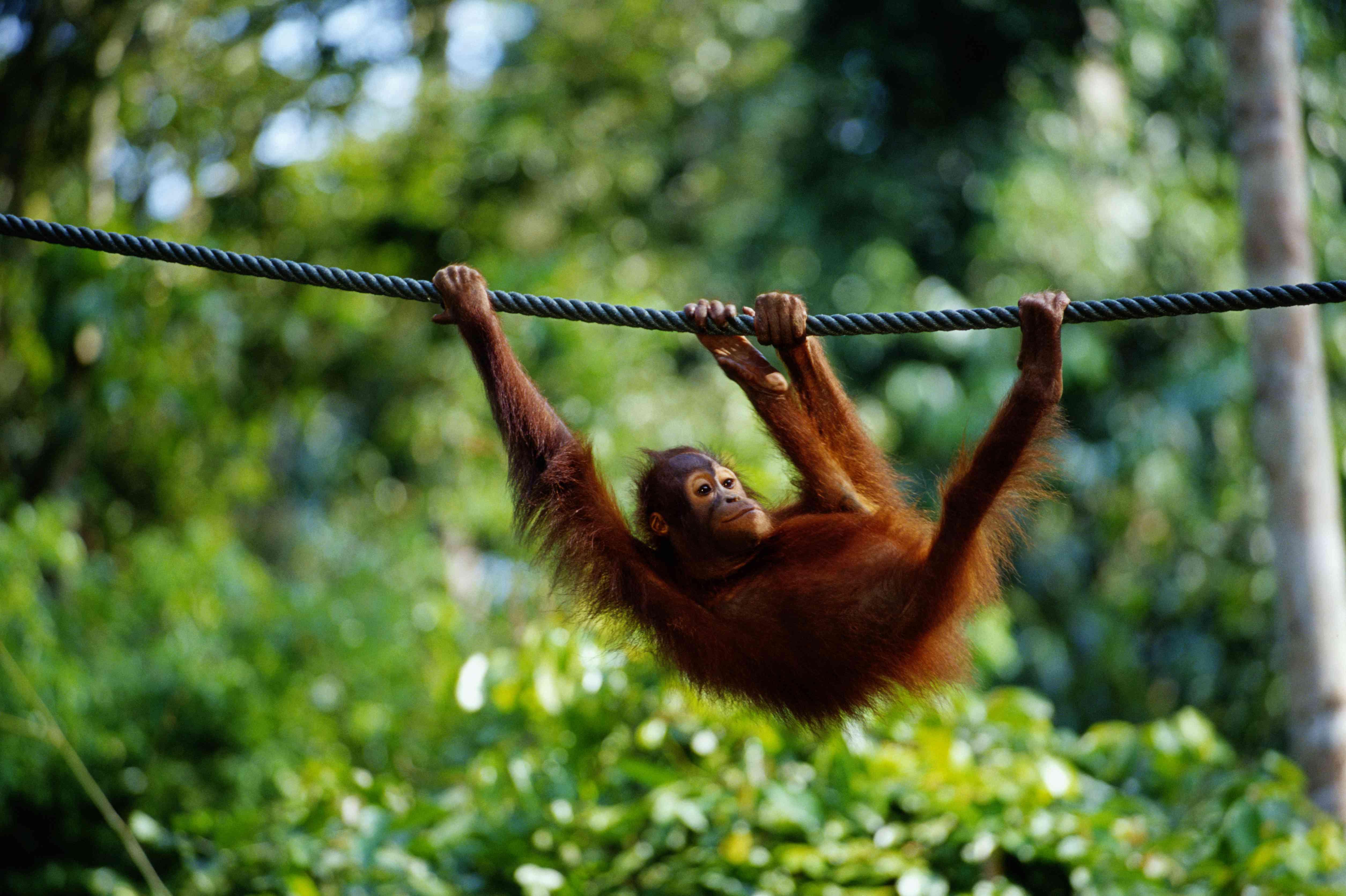 Young orangutan hangs from rope in Sepilok outside Sandakan, Sabah