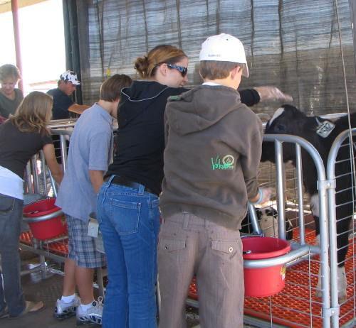 Feeding the calves on Shamrock's Dairy Farm Tour