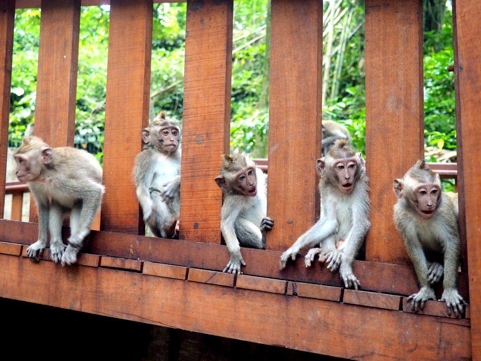 Macaque monkeys in Ubud, Bali
