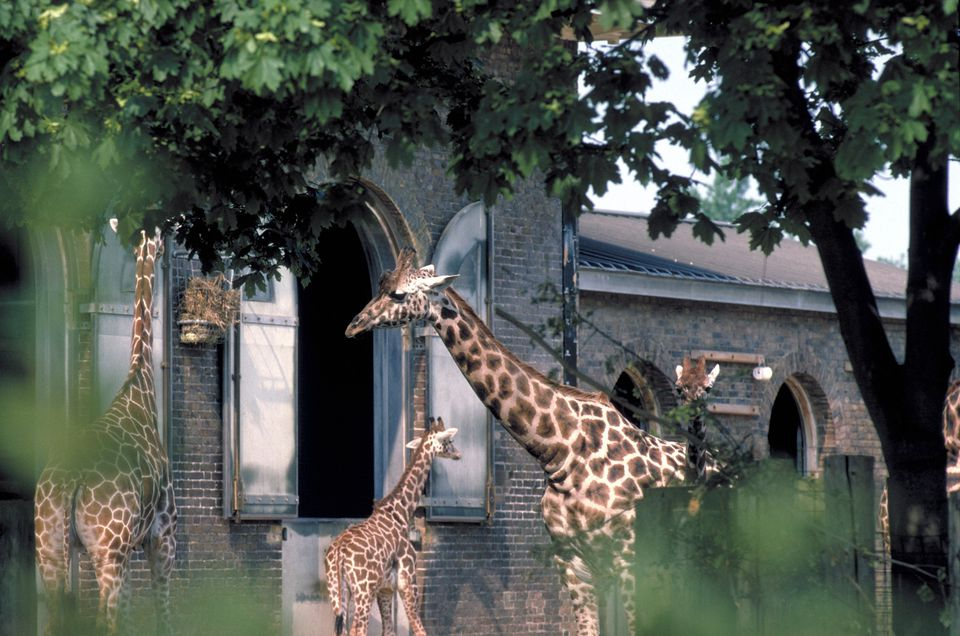 Giraffes at London Zoo.
