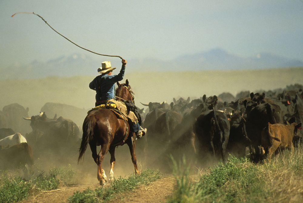 cattle drive vacation - Idaho
