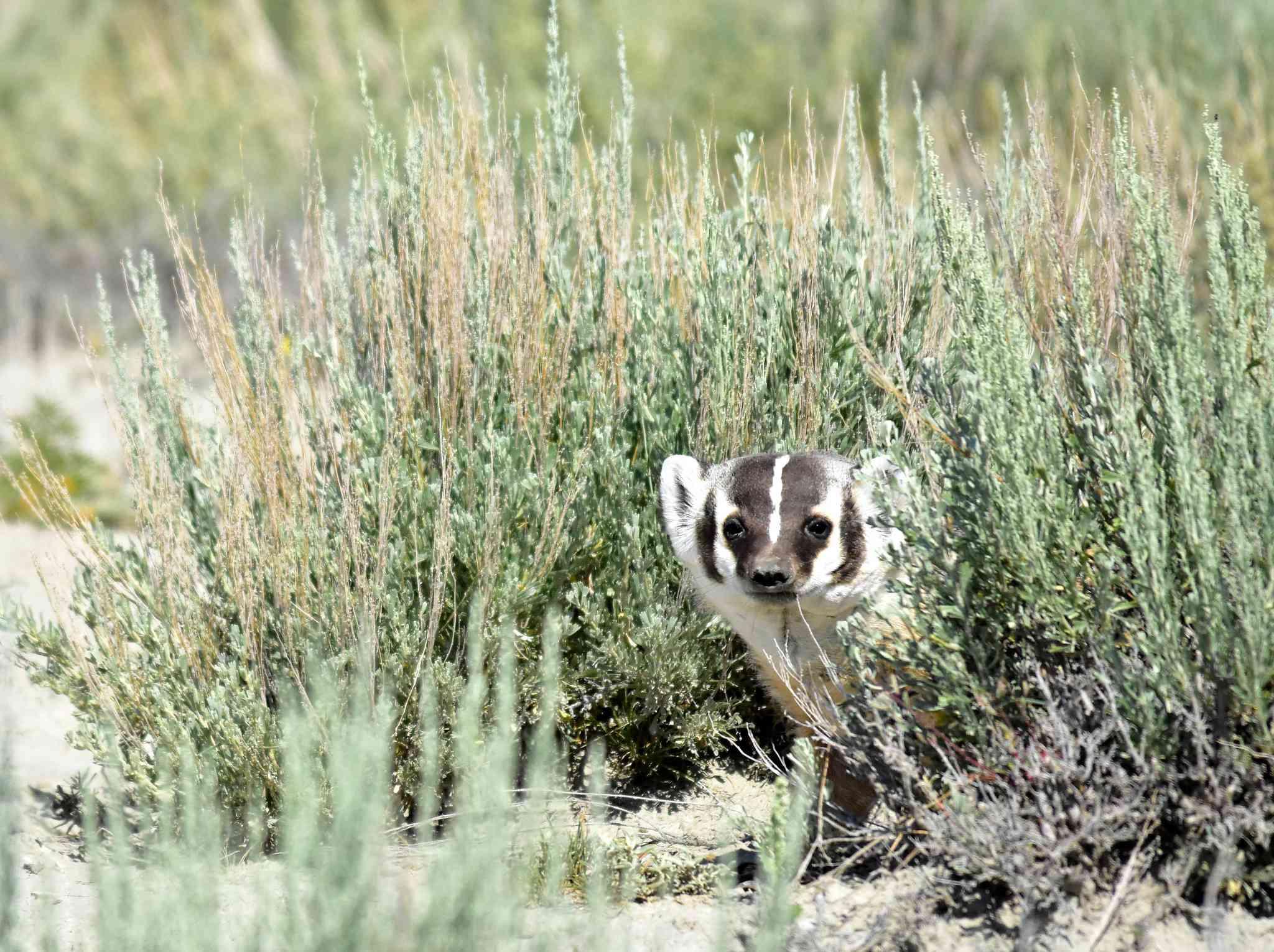 American Badger on Seedskadee National Wildlife Refuge