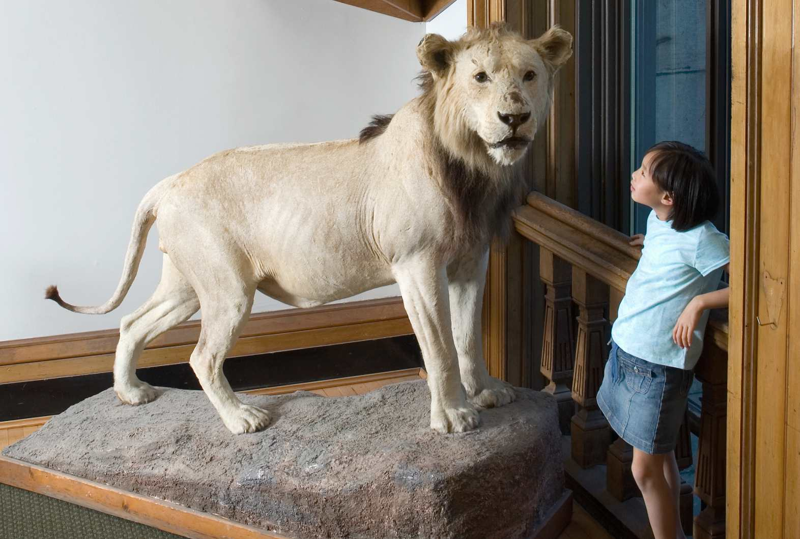 stuffed lion at Redpath Museum
