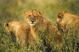 Wet Lions During Rainy Season, Tanzania