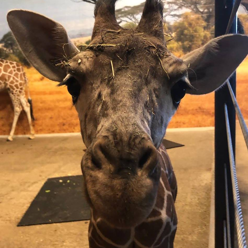 Penelope the giraffe at Como Park Zoo & Conservatory in Minneapolis