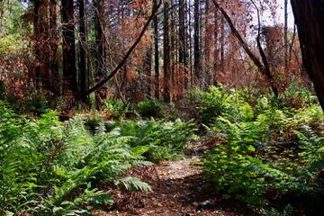 Ferns and redwood trees in Bothe State Park, Napa Valley, California.