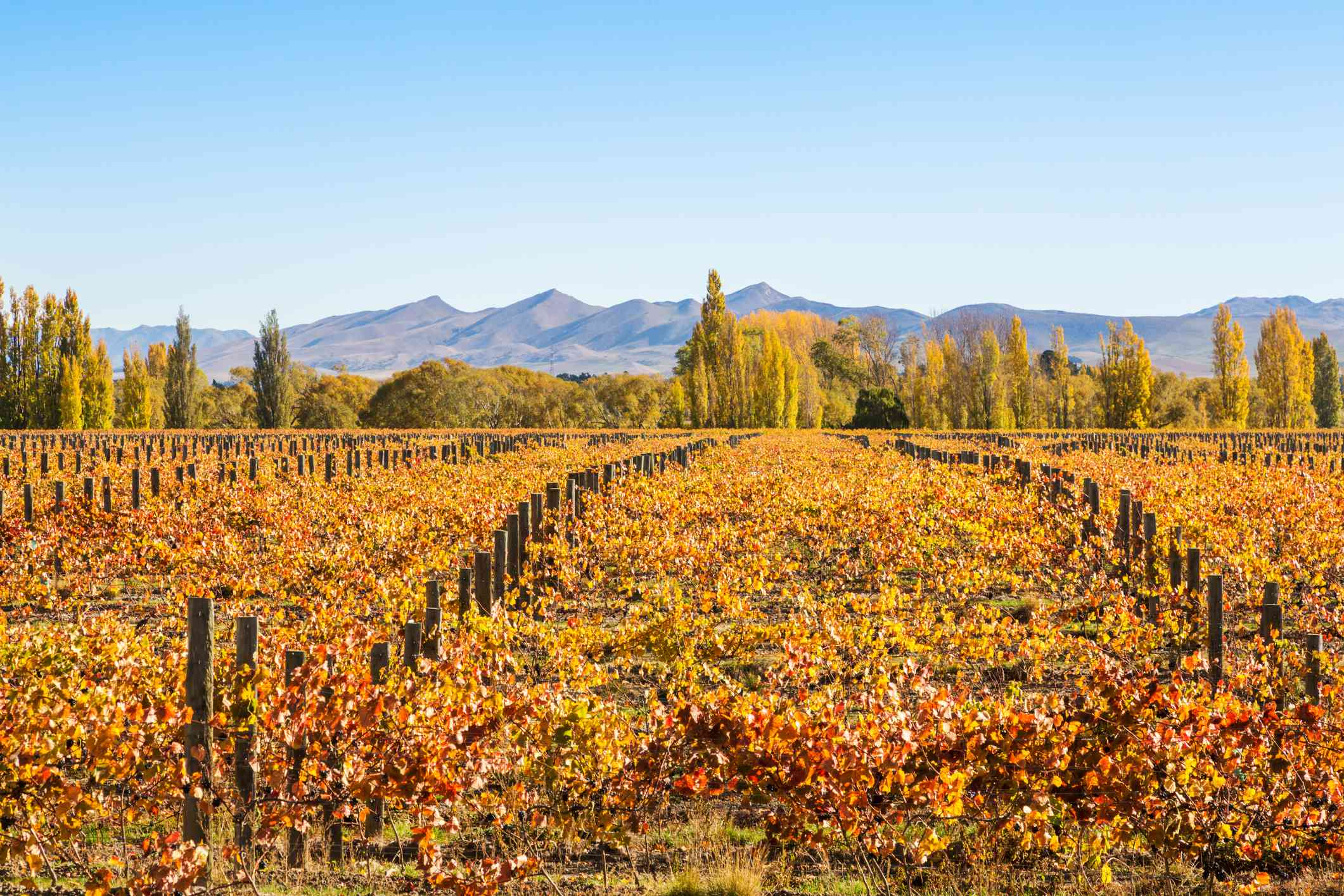 vineyards with trees and mountains in background