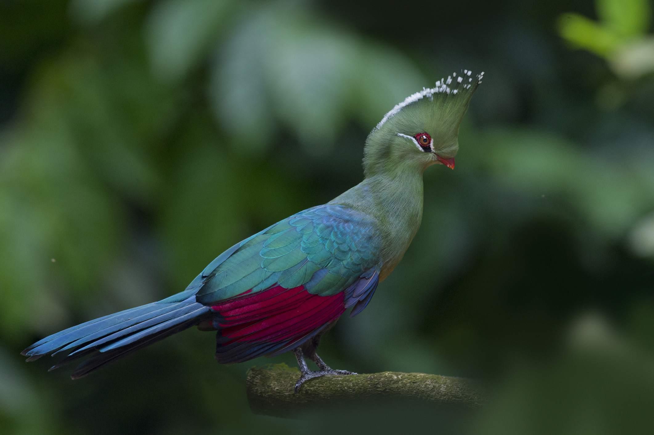Livingstone's Turaco, Southern Africa Best Birding