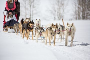 A closeup view of dogs with dogsled running towards camera. Set in the Colorado Rocky Mountains.