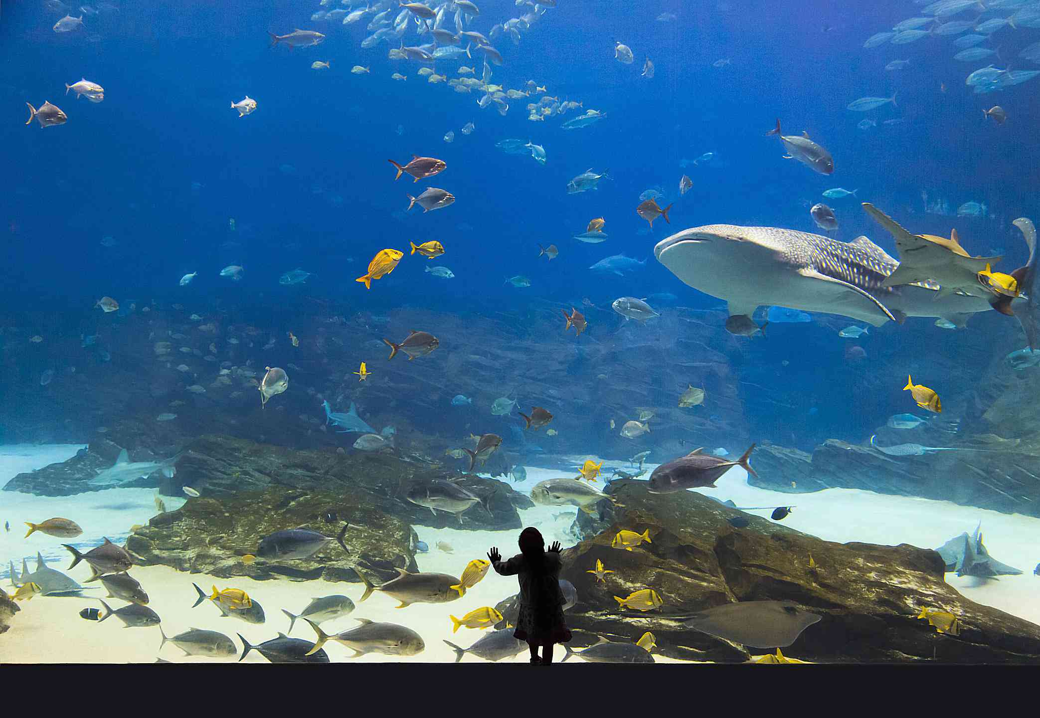 Child watching whale shark and saw fish
