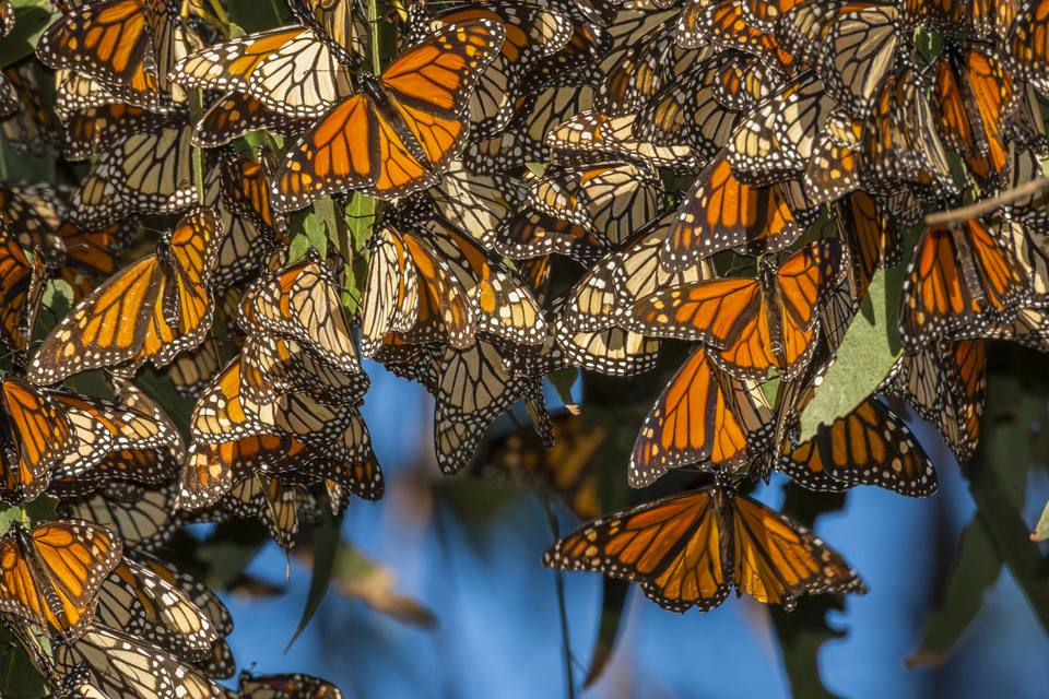 Monarch Butterflies in Pismo Beach, California