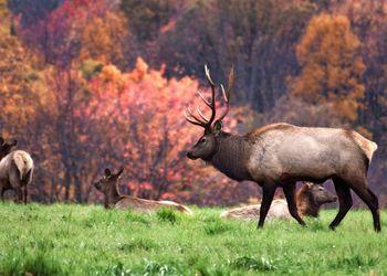 Elk in autumn meadow, Elk County, Pennsylvania, USA