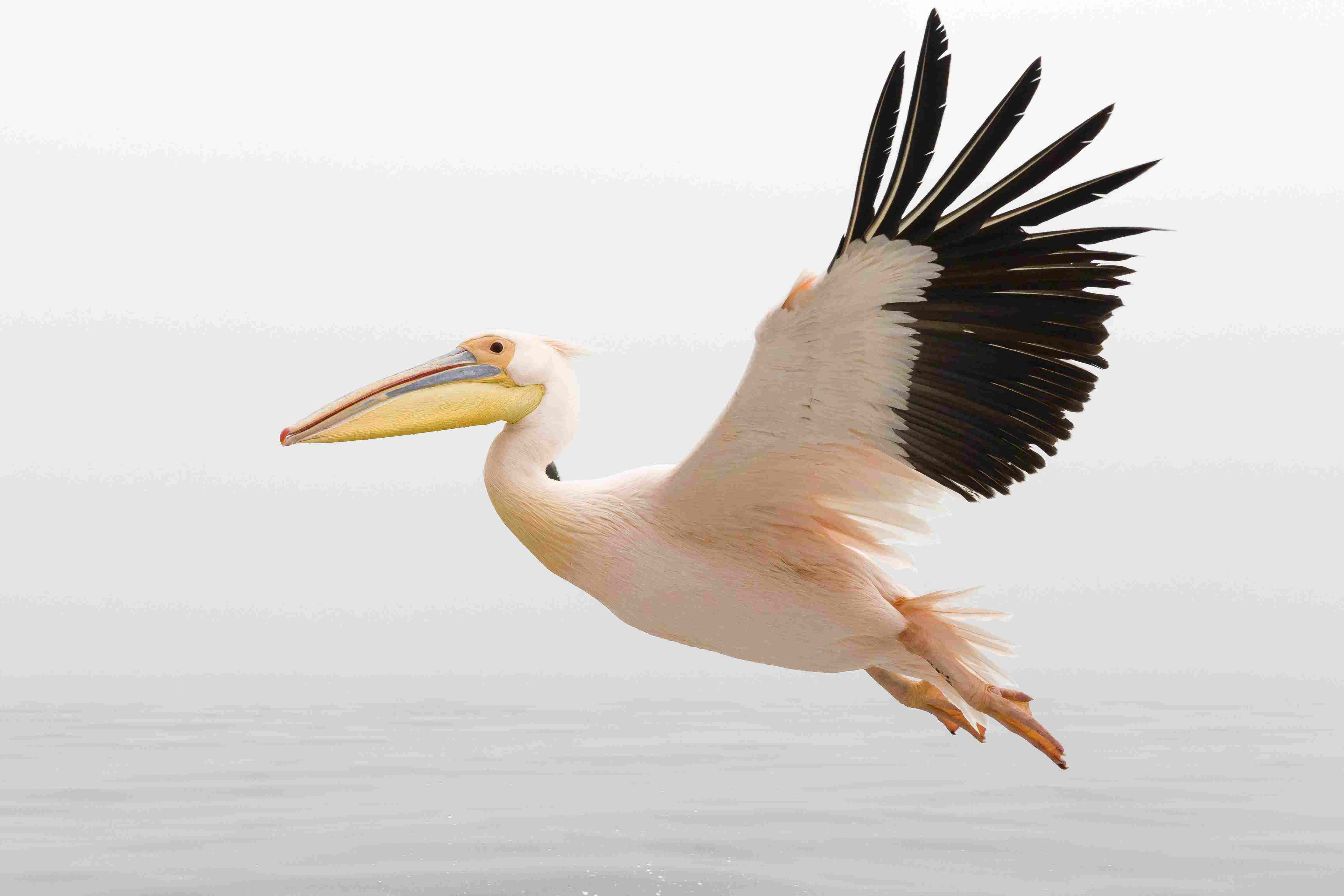 White Pelican in Flight close up with steady wings approaching landing