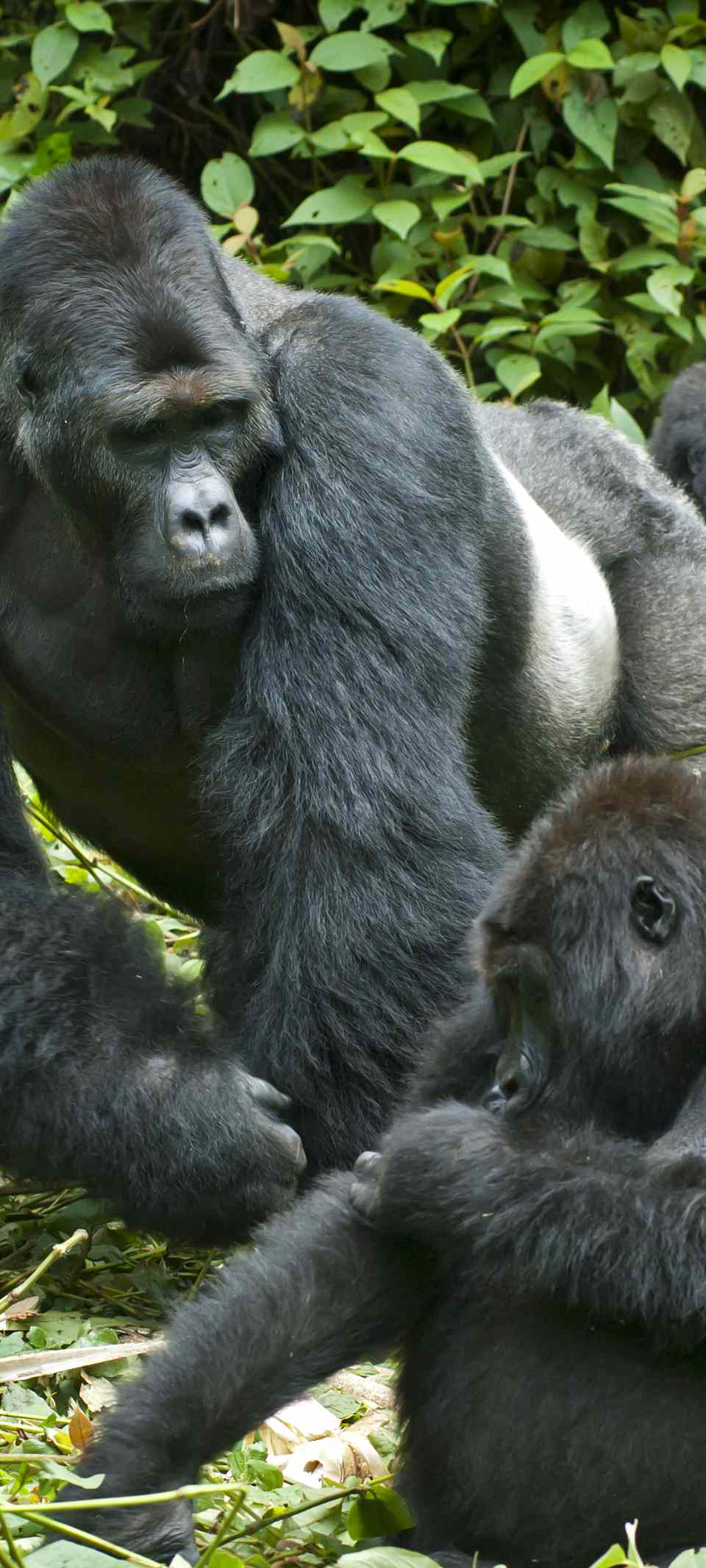Family of eastern lowland gorillas in the DRC