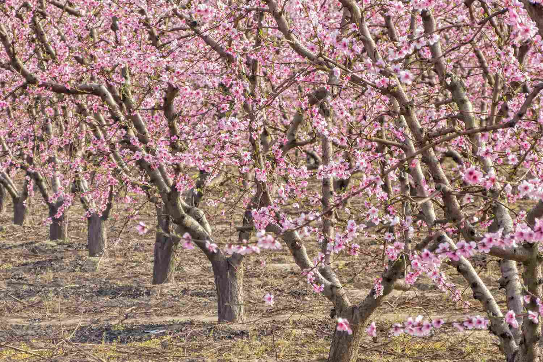 Fruit Trees on the Fresno Blossom Trail