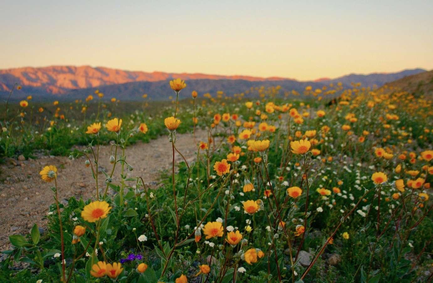 Palm Springs wildflowers