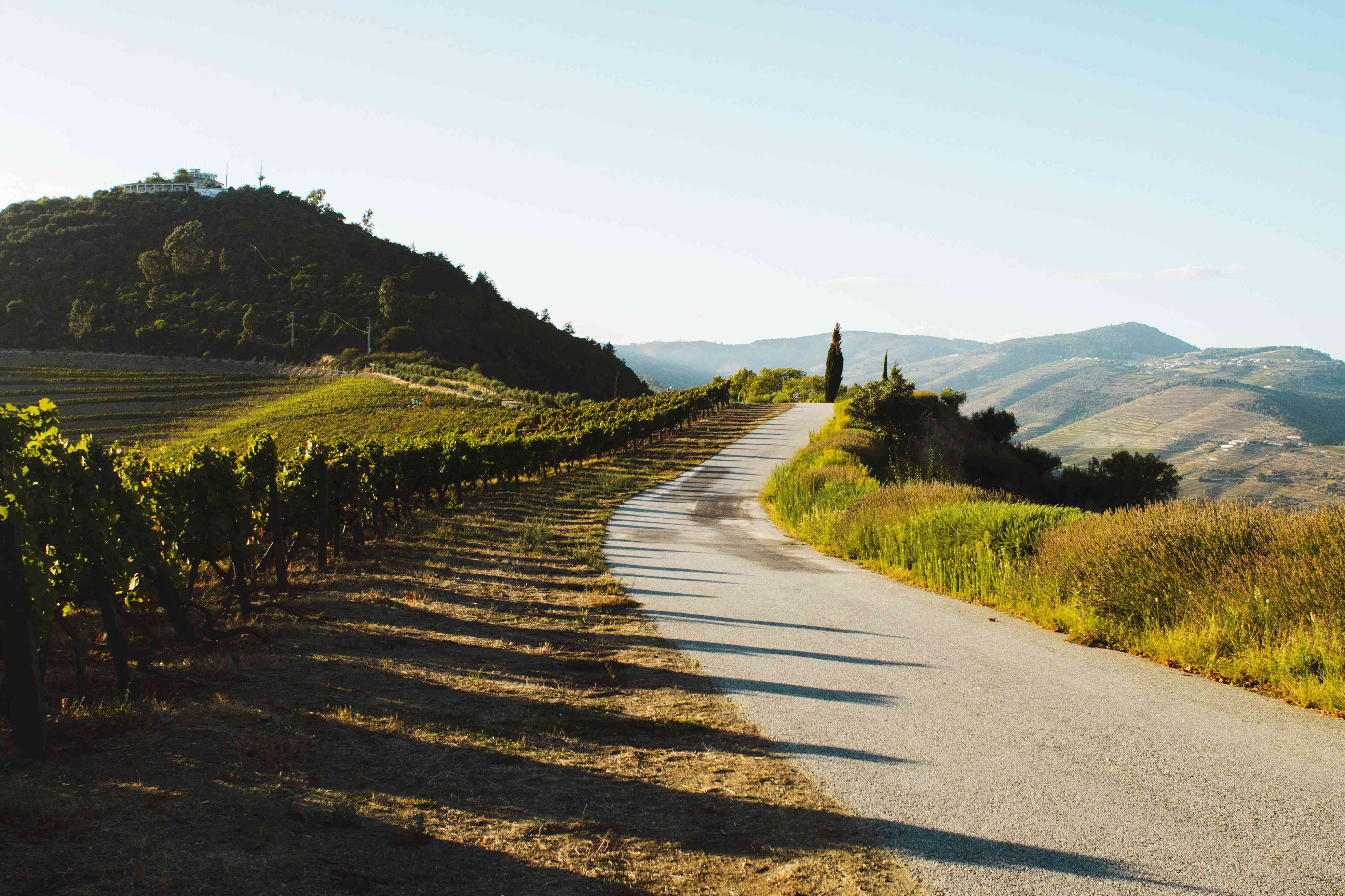 Long shadows being cast on a road from the vines